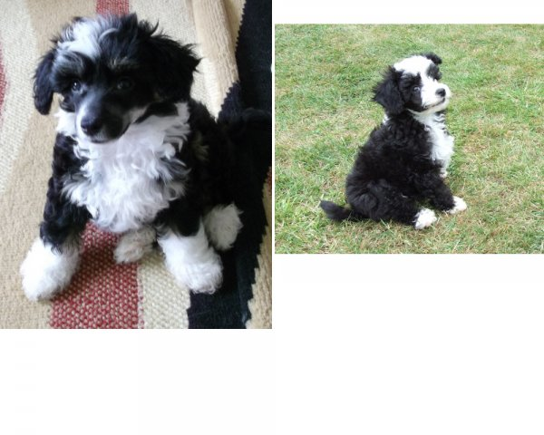 Evie and Ellery as puppies