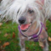 Genetics of a Hairless Breed - last post by haircrazie016