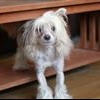 Chinese crested database - last post by littlej